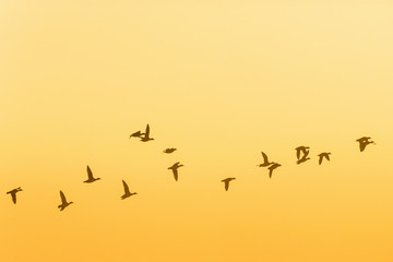 Flock of geese flying at sunrise in the sky