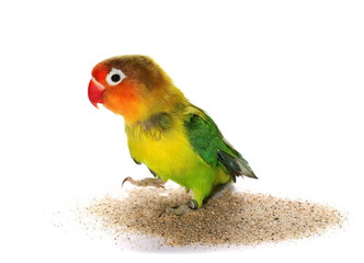 Lovebird isolated on white Agapornis fischeri (Fischer's Lovebird)