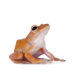 The golden tree frog on white