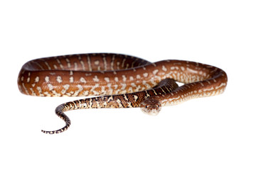 Centralian carpet python on white