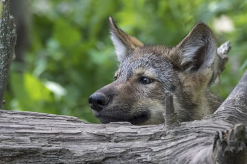 Wolf puppy looking over log