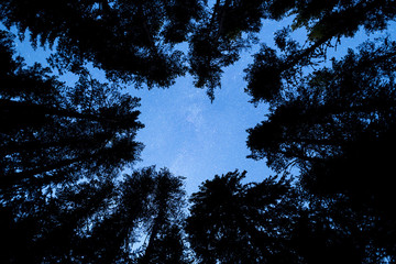 Pine trees silhouette Milky Way