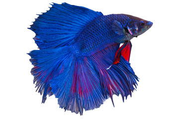 Red and blue siamese fighting fish. have clipping paths.