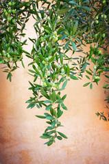 Olive plant over vintage background