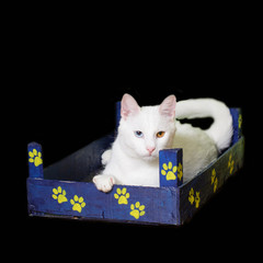 White cat with heterochromia iridum in a little wooden crate