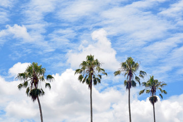 Four tall Palm trees with blue cloud filled sky background
