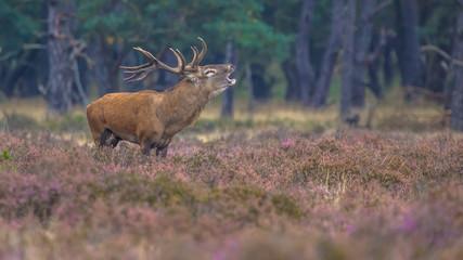 Wall Mural - Roaring male Red deer in field of Heather