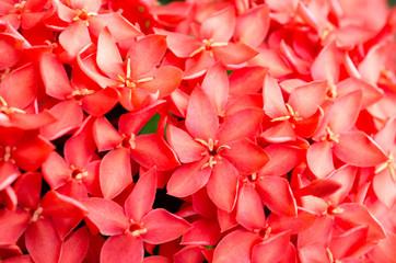 Red spike flower.King Ixora blooming (Ixora chinensis)