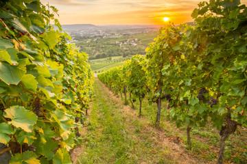 Fototapete - Sonnenuntergang mit Weinreben im Weinberg