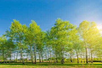 Birch tree grove.