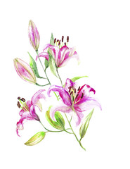 Lily. light pink buds. Watercolor art