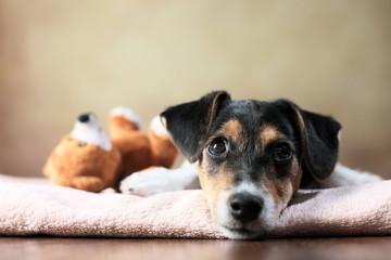 liegender Jack Russell Terrier Welpe