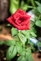 Red rose with green background of leaf