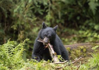 Bear Cub and Salmon