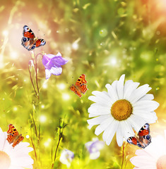 White daisy flowers on the background of the summer landscape. B