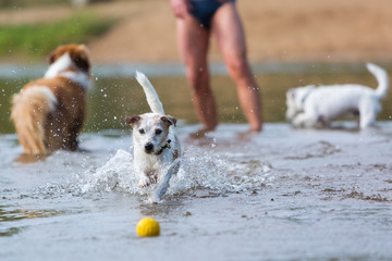 man plays with dogs in the river