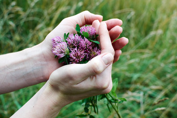 red clover in the female hands on a background of green grass