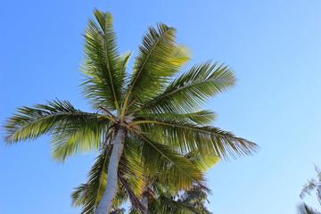 Palmen-Krone in der Karibik