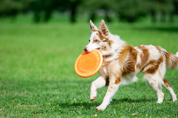 chokolate marble border collie with orange frisby disk running i