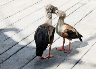 Orinoco Geese touching heads on a boardwalk