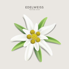 Alpine Edelweiss - detailed vector flower illustration