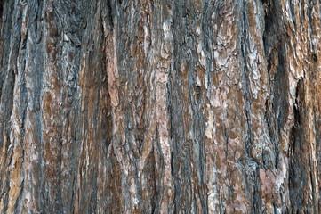 Close-up bark texture of cedar tree