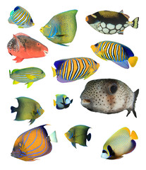 Fish. Tropical fish isolated. Reef fish on white background. Marine fish cut out