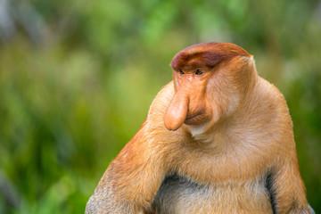 Proboscis Monkey (Nasalis larvatus) endemic of Borneo.  Male portrait with a huge nose.