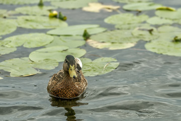 Duck in lake