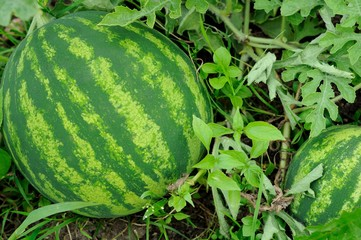ripening water-melon