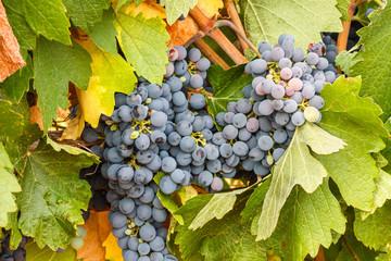 Racimos de uvas y hojas. Viñedos de Valdevimbre, León.