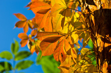 Detail of orange and yellow leaves on a tree against blue sky on a sunny autumn day