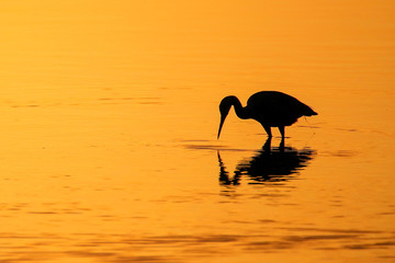 Silhouette of Little Blue Heron at sunset