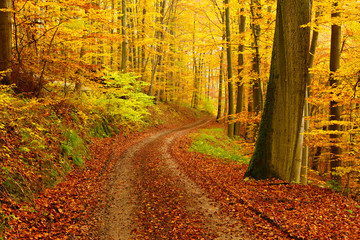 Winding Dirt Road through Forest of Beech Trees in Autumn, Leaves Changing Colour