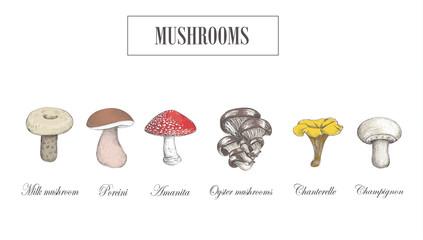 Mushroom set. Porcini. Milk mushroom, chanterelle mushroom, oys