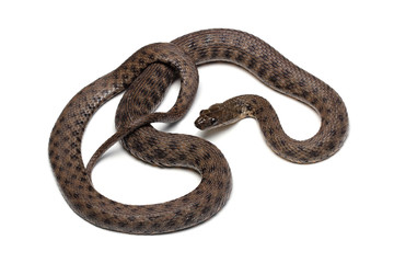 Dice snake (Natrix tessellata) isolated on white