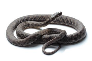 Dice snake (Natrix tessellata) isolated on white