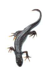 Great crested newt (Triturus cristatus) on white