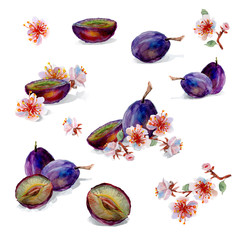 Watercolor painting. Plums and flowers