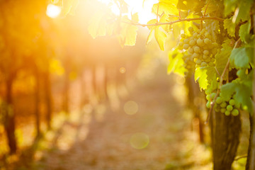 Deurstickers Wijngaard Whites grapes (Pinot Blanc) in the vineyard during sunrise.