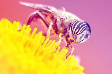 Tiger eyes small insect eating yellow pollen.