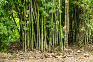 Wall Mural - Bamboo trees