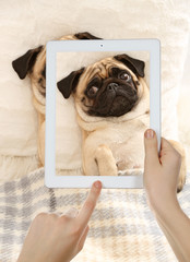 Female hands taking photo of cute pug dog on tablet.