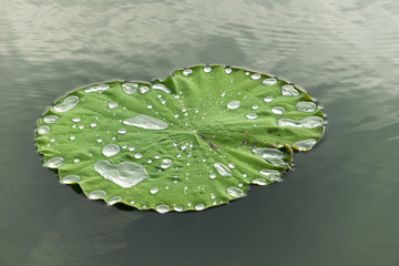Water or rain drop on green lotus leaf.