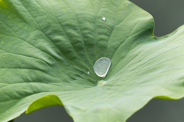 Water or rain drop rolling on green lotus leaf.
