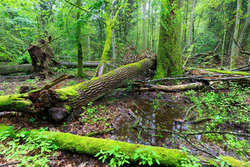 Papiers peints Forets Deciduous stand of Bialowieza Forest rain after in summer