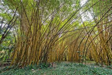 Bamboo forest view pano jungle very high