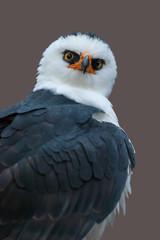 Águila Viuda (Spizaetus menaloneucus)