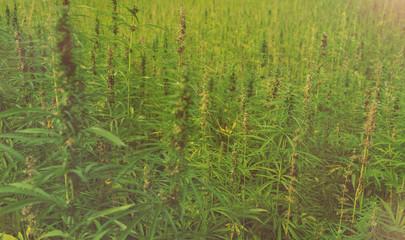 Hanffeld mit Blüten / Medizinisches Cannabis