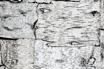 texture of birch bark. Background from birch trees
